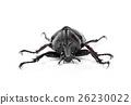 Male Rhinoceros beetle, Hercules beetle, Unicorn  26230022