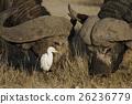 african, buffalo, wild 26236779