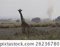 ยีราฟ Masai 26236780