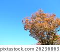 ต้นเมเปิล,ท้องฟ้าเป็นสีฟ้า 26236863