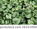 Green Leaves vine texture 26241000