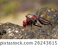 Sally Lightfoot Crab on rocks 26243615