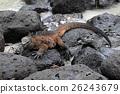 Galapagos Marine Iguana resting on lava rocks 26243679