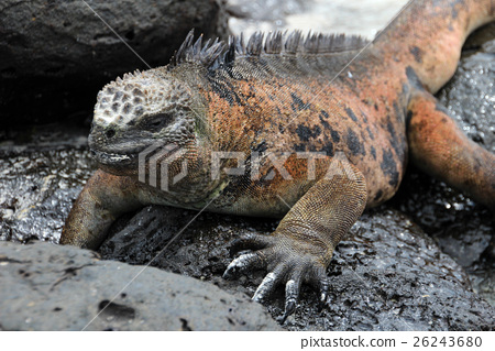 Galapagos Marine Iguana resting on lava rocks 26243680