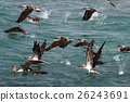 Blue footed boobies flying and fishing, Galapagos 26243691