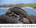 Galapagos Marine Iguana resting on lava rocks 26243800