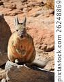 Viscacha rabbit Bolivia 26248869