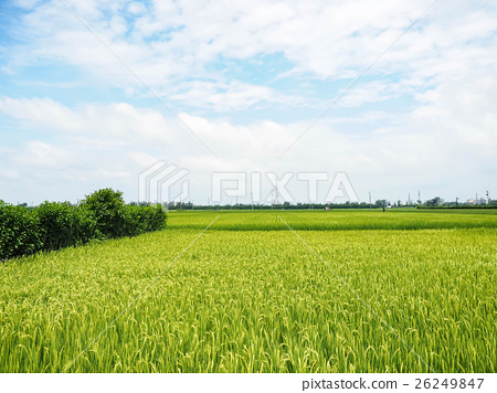稻田 26249847