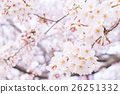 Sakura Sameyoshi no Sakura Closeup closeup copy space 26251332