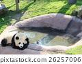 熊貓小睡一會兒 26257096