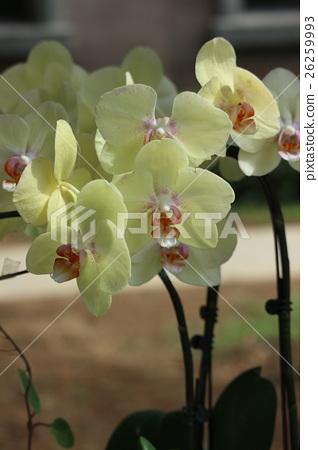 盛開的蘭花 26259993