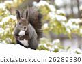 松鼠 北海道松鼠 日本北海道松鼠 26289880