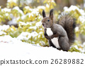 松鼠 北海道松鼠 日本北海道松鼠 26289882