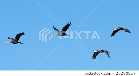crane 26290917