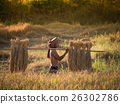 Thai farmer carrying the rice on shoulder after harvest.. 26302786