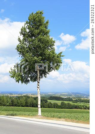 Hokkaido birch tree in early summer (no sign board) 26322321