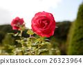 bloom, blossom, blossoms 26323964