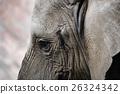 african, elephant, loxodonta 26324342