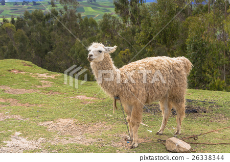 Ruma of Machu Picchu remains 26338344