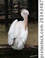 鵜鶘 鳥兒 鳥 26343487