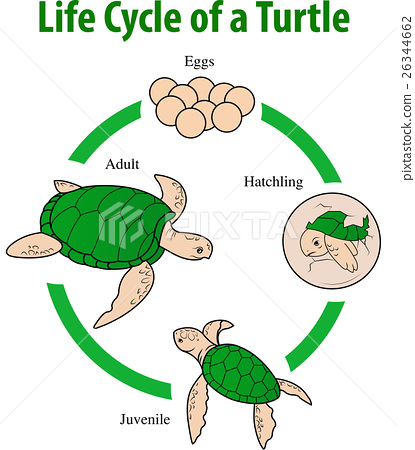 turtle life cycle - Khafre