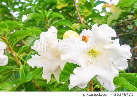White flower Easter Lily Vine 26346473