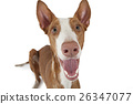 Portrait of Podenco ibicenco dog on white 26347077