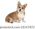 Welsh corgi Pembroke dog isolated on white 26347872