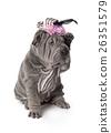 Portrait of funny sharpei puppy dog 26351579