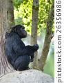 chimpanzee 26356986