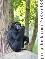 chimpanzee 26356988