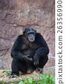 chimpanzee 26356990