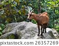 棕色 褐色 山羊 26357269
