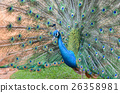 bird peacock tail 26358981