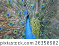 bird peacock tail 26358982