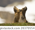 Two Marmot groundhog while fighting 26370554