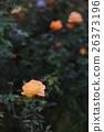 玫瑰 玫瑰花 花朵 26373196