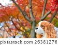 Cavalier and autumn leaves 26381276