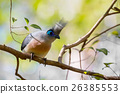 Atractive bird Crested coua (Coua cristata) 26385553