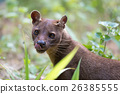 carnivorous mammal Fossa (Cryptoprocta ferox) 26385555
