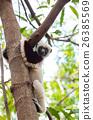 Lemur Coquerel's sifaka (Propithecus coquereli) 26385569