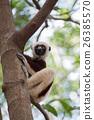 Lemur Coquerel's sifaka (Propithecus coquereli) 26385570