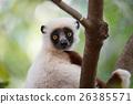 Lemur Coquerel's sifaka (Propithecus coquereli) 26385571