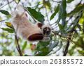 Lemur Coquerel's sifaka (Propithecus coquereli) 26385572