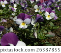 Viola of white and blue flowers 26387855