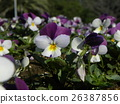 Viola of white and blue flowers 26387856