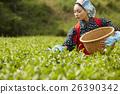 茶葉採摘 茶園 人 26390342