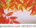 maple, yellow, leafe 26392519