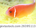 小丑魚 熱帶魚 南國 26395113