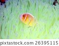 銀蓮花 熱帶魚 魚 26395115